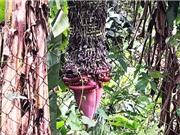 Lâm Đồng: Buồng chuối khủng 'đẻ' gần 200 nải vẫn chưa dừng lại
