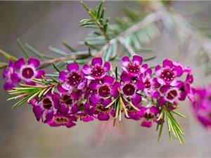 Vẻ đẹp của loài hoa đặc hữu của Australia