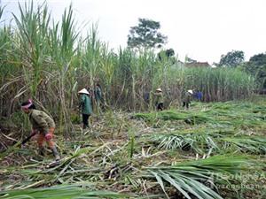 Nghệ An nhân rộng mô hình trồng mía năng suất 90 tấn/ha