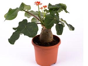 Kỹ thuật trồng và chăm sóc cây sen lục bình
