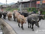 Giá trâu bò giảm mạnh, người nuôi ở Nghệ An thiệt hại lớn