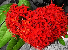 Mẫu đơn đỏ - loài hoa tượng trưng cho sắc đẹp và sự giàu sang