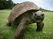 Cụ rùa già nhất thế giới có thể là đồng tính