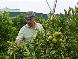 Lâm Đồng: Vườn cam tiền tỷ giữa vùng rau Ðơn Dương
