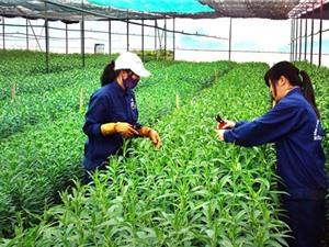 Ứng dụng công nghệ cao trong sản xuất nông nghiệp ở Hà Nội còn khiêm tốn