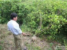Nông dân Nghệ An điêu đứng vì chanh rớt giá thê thảm