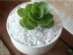Cách trồng sen đá lục bình trang trí bàn làm việc