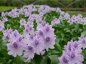 Vẻ đẹp của loài hoa mọc dại khắp Việt Nam