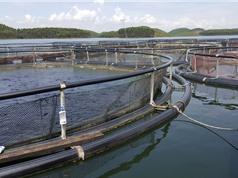 Yên Bái: Đưa công nghệ nuôi cá lồng vào sản xuất hàng hóa tập trung