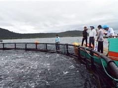 Triển vọng nuôi cá công nghiệp ở Phú Quốc