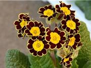 Chiêm ngưỡng vẻ đẹp của hoa tai gấu