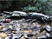 Loài tôm hùm nước ngọt lớn nhất thế giới sắp tuyệt chủng