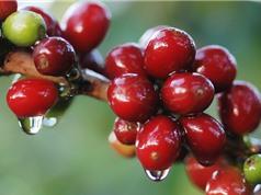 Kim ngạch xuất khẩu cà phê Đắk Lắk tăng 88 triệu USD