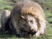 Vườn thú Đan Mạch gom xác ngựa cho sư tử ăn thịt