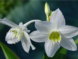 Vẻ đẹp thuần khiết của ngọc trâm, loài hoa xứ từ châu Mỹ