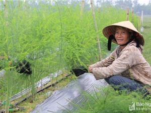 Nông dân thành phố Vinh trồng măng tây bằng công nghệ Israel