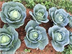 Cao Bằng: Đưa công nghệ trồng rau, hoa hiện đại tới bà con vùng cao