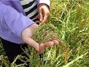 Yên Bái muốn xây dựng chỉ dẫn địa lý cho gạo nếp Tú Lệ
