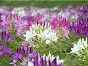 Cách trồng hoa hồng ri cho khu vườn thêm hương sắc