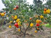 Phát triển cây ăn quả có múi theo hướng an toàn, bền vững