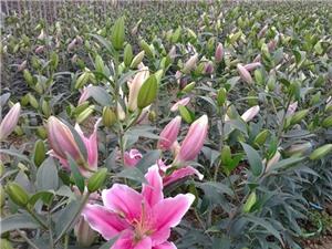 Cách trồng hoa lily thu lãi 1 tỷ đồng/ha