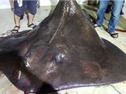 Cá mập và cá đuối bị sảy thai, sinh non khi bị bắt