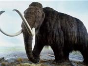 Nguyên nhân khiến voi ma mút đực biến mất hàng nghìn năm trước