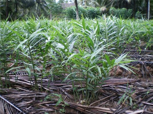 Vĩnh Phúc: Triển vọng mở rộng mô hình trồng gừng xuất khẩu