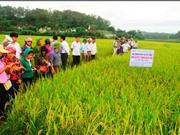 Sử dụng gene HD9 chọn tạo giống lúa ngắn ngày ở Việt Nam