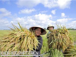 Mong đợi công bố tiêu chuẩn gạo Việt