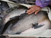 Bắc Giang: Xây dựng mô hình nuôi cá trắm đen và tạo chuỗi giá trị từ cây nghệ