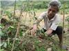 Phú Yên: Ứng dụng công nghệ nhân giống cây ba kích