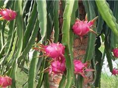Mô hình trồng thanh long ruột đỏ tại Diễn Châu, Nghệ An