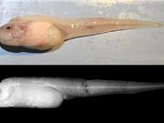 Tìm ra loài cá sống ở độ sâu lớn nhất dưới đáy đại dương