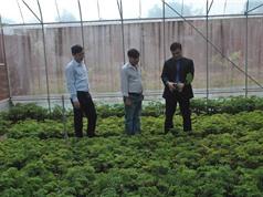 Ninh Bình lần đầu trồng cây thuốc  đinh lăng theo tiêu chuẩn GACP