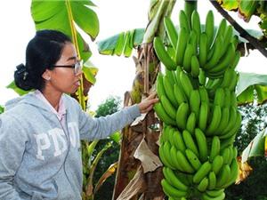 Cà Mau: Xây dựng mô hình trồng chuối già Philippines để xuất khẩu