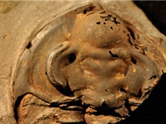 Khai quật hóa thạch sinh vật biển 530 triệu năm vẫn còn mắt