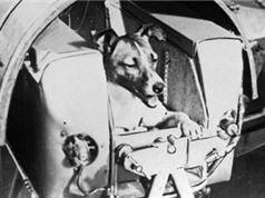 Chuyện về chú chó đầu tiên bay vào không gian