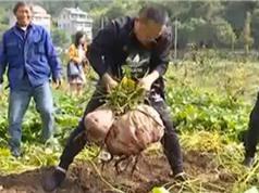 Nông dân Trung Quốc thu hoạch củ khoai lang 41 kg