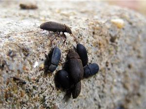 Đồng Nai: Sản xuất thành công chế phẩm sinh học an toàn phòng trừ bọ đậu đen