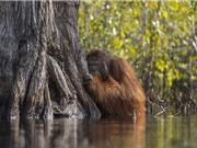 Bức ảnh đười ươi nép sau gốc cây dưới nước gây xúc động