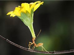 Kiến nâng bổng bông hoa lớn gấp ba lần cơ thể