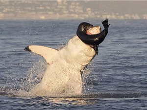 Hải cẩu nằm trong miệng cá mập vẫn cố cắn trả