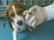 Công ty Trung Quốc nhân bản chó chỉnh sửa gene để nghiên cứu bệnh