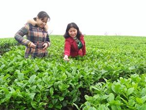 Người góp phần thay đổi năng suất giống chè Việt Nam