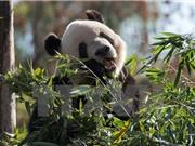 Trung Quốc sản xuất giấy vệ sinh từ phân gấu trúc và lá tre