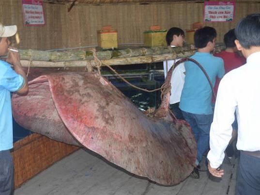 Bắt được cá đuối nước ngọt nặng 220 kg trên sông Tiền