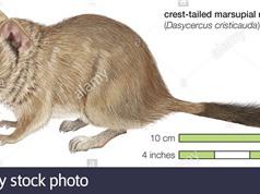 Loài chuột tưởng đã tuyệt chủng hơn trăm năm tái xuất