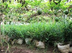 Bắc Ninh: Trồng gừng xen gấc cao sản đạt hiệu quả kinh tế cao gấp 3-4 lần so với trồng lúa