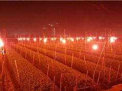 Phú Yên: Ứng dụng ánh sáng đơn sắc nuôi cấy mô tế bào